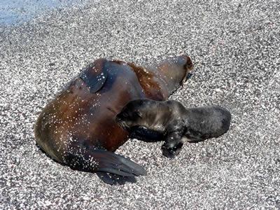 Nursing sea lion