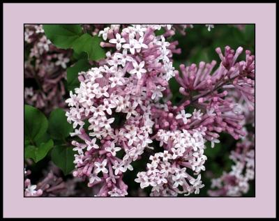 19 - Lilacs